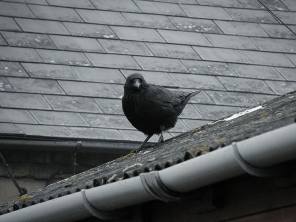 ... Bird Animal Themes One Animal Perching Animal Wildlife No People Outdoors Day Adapted To The City Crow Rook Raven Corvus Birds Avian Wildlife Wildlife In The City Wildlife In Residential Area Roof Birds In The City Black Feathers Slate Grey Gray