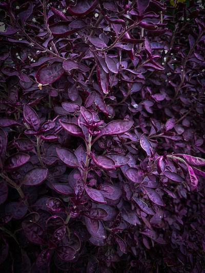 Full frame shot of purple flowering plant