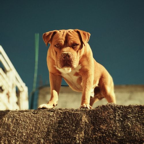 Aquiles Pets Dog Portrait Animal Themes Close-up Pit Bull Terrier