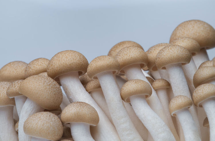 Agriculture Growth Mushrooms Buna Shimeji Mushroom Close-up Day Food Freshness Healthy Eating Mushroom Mushroom Stalk Nature No People Shimeji Mushrooms White Background
