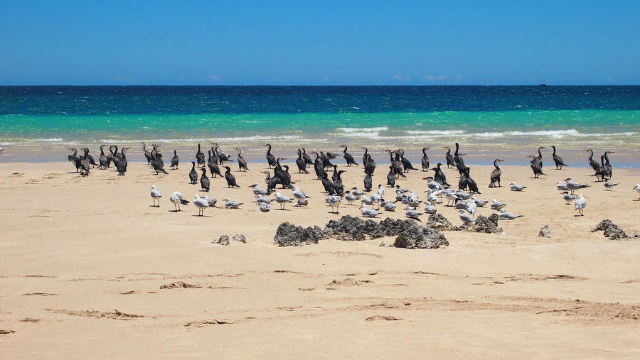 Flock of birds on beach against clear blue sky