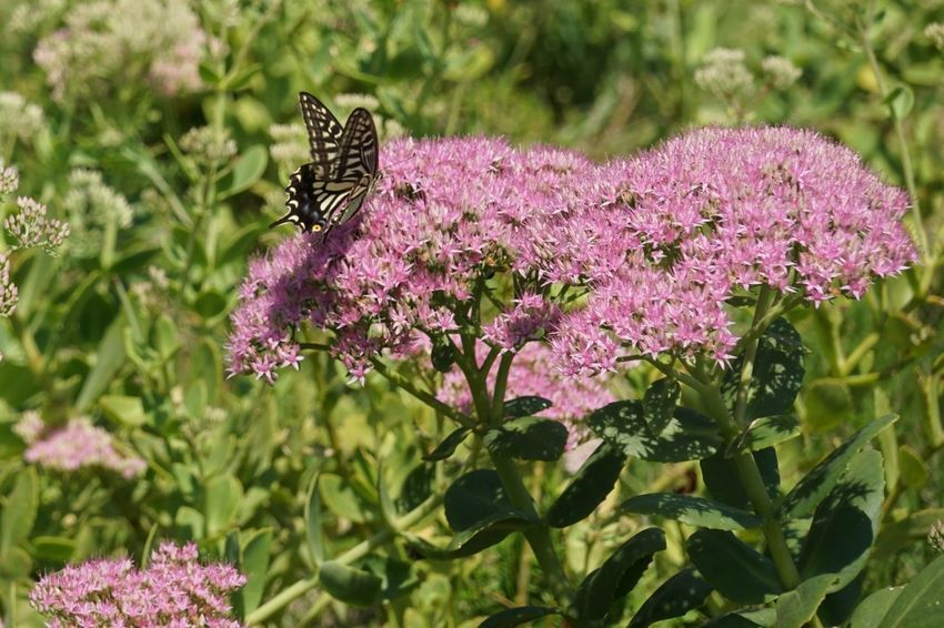 Plant Nature Flower Pink Color Outdoors No People Green Color Day Animals In The Wild One Animal Beauty In Nature Animal Wildlife Butterfly - Insect Growth Animal Themes Close-up Fragility Flower Head Freshness A7m2 Sony Hsun Korea Freshness Beauty In Nature