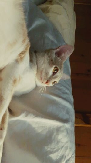Milo pt. 5 Domestic Cat Pets Animal Themes One Animal No People Indoors  Close-up Day Bedroom Relaxation