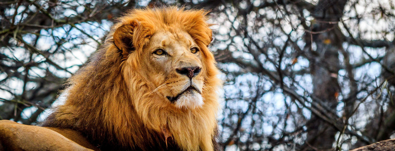 It's Good to be King! Animal Head  Animal Themes Brown Close-up Day Focus On Foreground King Lion Mammal Nature No People Outdoors Portrait Pride Rock Selective Focus Tree