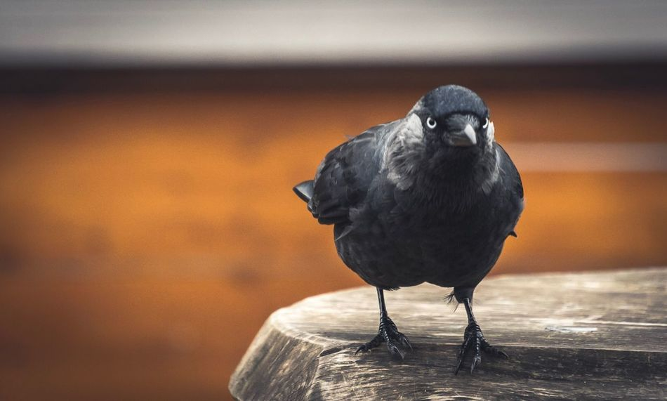 Angry crow Bird Animal Themes One Animal Perching Animals In The Wild Crow Animal Wildlife Focus On Foreground No People Close-up Nature Day Outdoors Raven - Bird Crows This Week On Eyeem