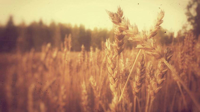 Autumn Grain Field Nature Close Up Closeupshot Samsung