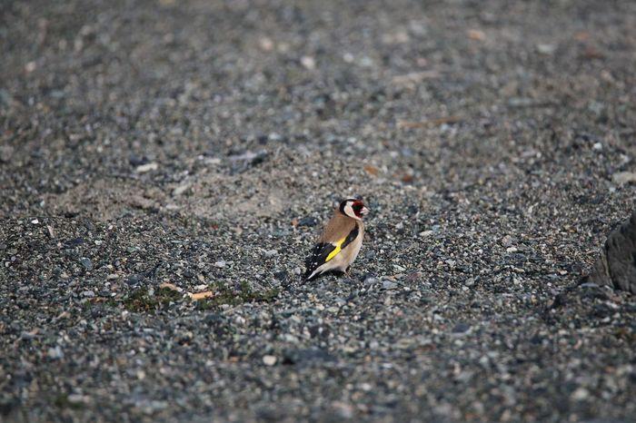 Cardellino Carduelis Carduelis Carduelis Birdwatching Fly Animals In The Wild One Animal Animal Wildlife Animal Themes Bird Day Outdoors