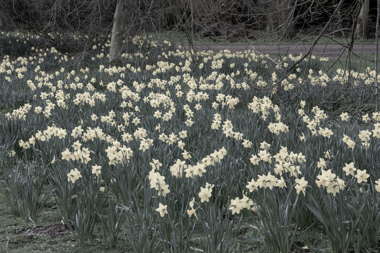 Daffodils in the local park Daffodils Daffodils In The Sun Desaturated Landscape Plant Flowering Plant Flower Land Field Beauty In Nature Growth Nature Fragility Freshness Flowerbed Almost Black And White