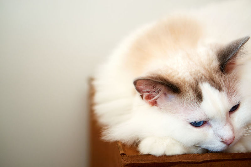 Cats Love Boxes Copy Space Cat Pets Animal Relaxation Sleepy Blue Eyes Fluffy Box Indoors  Feline Furry Mammal Softness No People Horizontal House Cat Ragdoll Cat Domestic Cat White Color Animal Themes One Animal Cats Love Boxes Purebred Cat Not Your Cliche