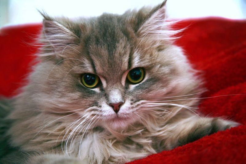 The portrait of fluffy kitten Kittens Kitten Cat Furry Cat Fluffy Cat Cat Lovers Animals Animal Themes Furry Friends Fluffy Furry Kitty