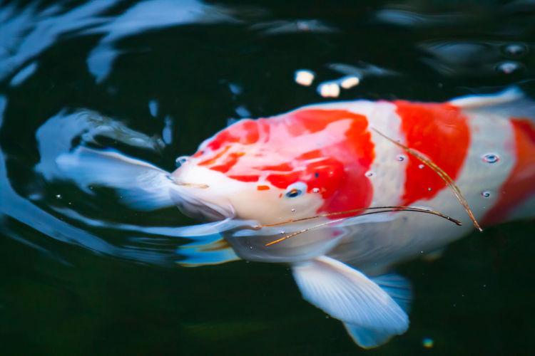 Close-up of koi carp swimming in lake
