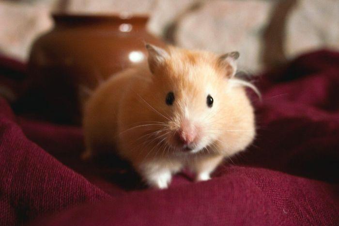 Hamster Hamsters Hamster Love Animal Animals Cute Cute Pets Love Love Animal