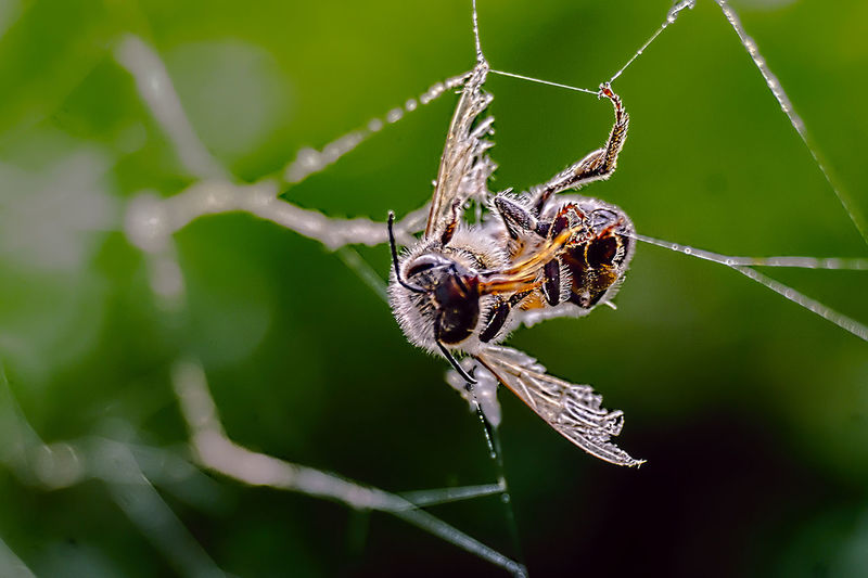 Close-Up Of Bee In Spider Web