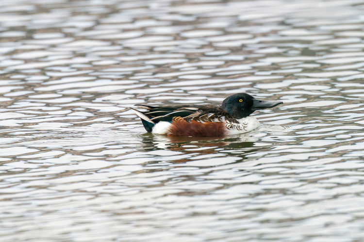 Close-up of shoveler duck in lake
