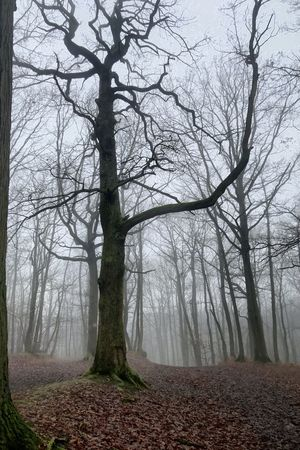 Brouillard Tree Fog Plant Tranquility Forest Beauty In Nature Land Tree Trunk Trunk Branch Tranquil Scene No People