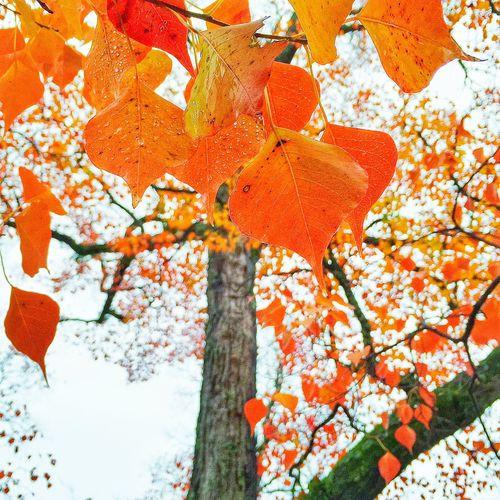 Tree Art Treetastic Tree_collection  TreePorn EyeEm Gallery NEM Mood EyeEm Nature Lover EyeEm Thailand Autumn Leaves Autumn Colors Autumn🍁🍁🍁