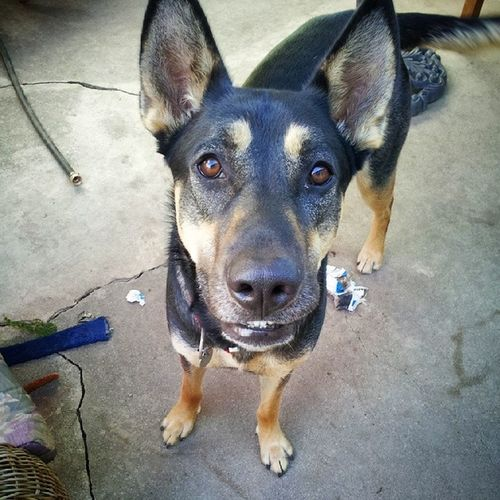 """This is Dave. I told him to """"smile"""" and if you look closely, he is showing his teeth. Germanshepherd Dogswithhumannames Germanshepherdlovers"""