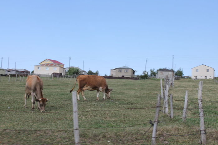 Animal Themes Barbed Wire Clear Sky Cows Grazing Cows In A Field Cows In The Feilds Grazing Kühe Landscape Mammal No People Outdoors Plateau Rural Scene Yayla