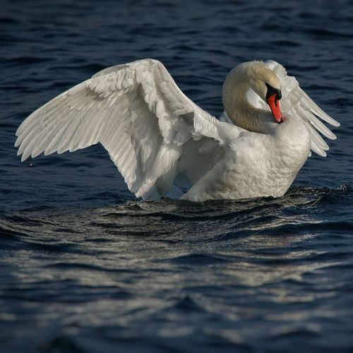 Bird Animals In The Wild One Animal Animal Wildlife Water Lake No People Animal Themes Swimming Outdoors Swan Day Sony A7rm2 Sony A7RIILago Di Como, Italy Sonyalpha Full Frame Sonyimages Lucariva Sony α♡Love