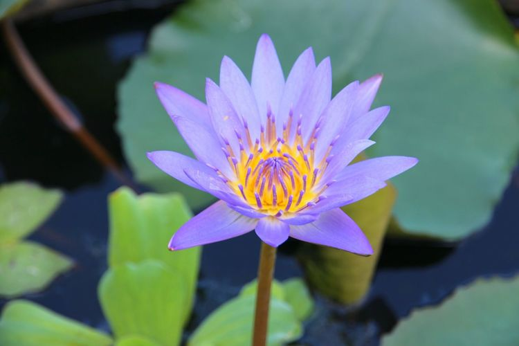 Flower Water Lily Petal Nature Beauty In Nature Flower Head Fragility Water Freshness Lotus Water Lily Plant Lake Floating On Water Leaf No People Purple Day Close-up Outdoors Springtime
