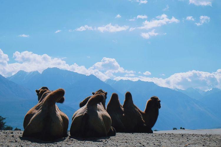 Camels sitting on sand against sky