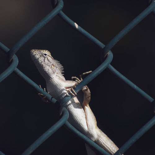 Close-up of lizard on chainlink fence