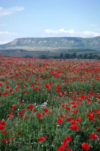 Red poppies on field against sky