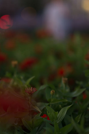 Beauty In Nature Close-up Day Freshness Grass Green Color Growth Nature No People Outdoors Plant Red Night St Night 1.4