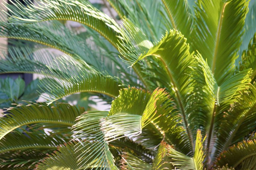 Growth Leaf Plant Green Color Plant Part Tree Beauty In Nature Close-up Day Nature No People Palm Leaf Focus On Foreground Backgrounds Outdoors Palm Tree Full Frame Freshness Sunlight Frond Leaves