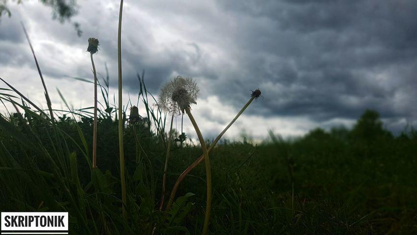 одинокий в поле одуванчик Sky Cloud - Sky Plant Storm Cloud Storm Cyclone