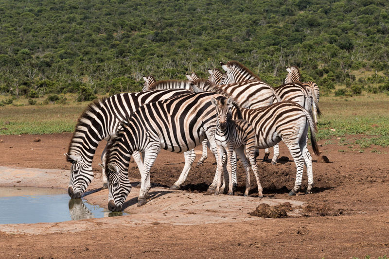Zebra and zebras standing in a water