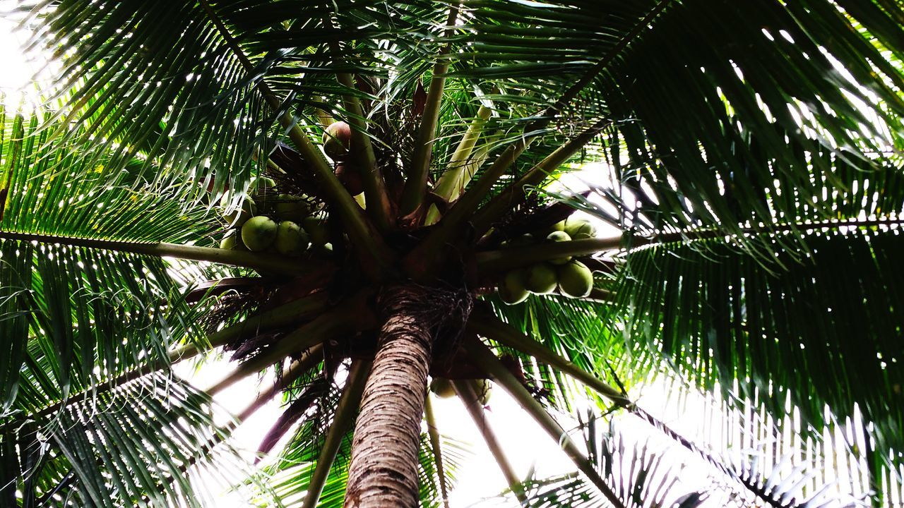 low angle view, palm tree, tree, growth, nature, beauty in nature, green color, tree trunk, outdoors, day, no people, leaf, branch, close-up