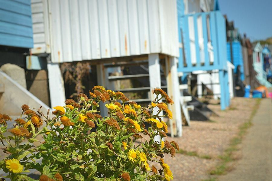 Weeds at the Beach Hut Beach Huts Weeds Are Beautiful Too Yellow Weeds Yellow Flowers At The Beach Day At The Beach Beach Day British Seaside Seaside Blue Sky Sunny Day Frinton-on-Sea United Kingdom Nikon D3200