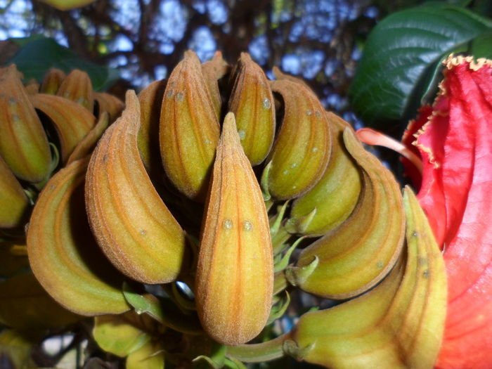 African tulip tree blossoming to start Freshness Growth Close-up Plant No People Nature Beauty In Nature Day Flower Focus On Foreground Leaf Inflorescence Flowering Plant Flower Head Plant Part African Tulip Tree African Tuliptree South Africa Flower Buds Outdoors Outdoor Hairy Blossoms Geen POV