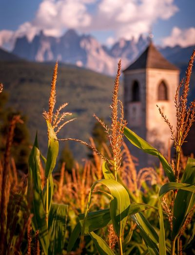 Montagna di grano Close-up Day Flower Beauty In Nature Architecture Sky No People Outdoors Nature Plant Growth Dolomites, Italy Dolomites Dolomiti Dolomiten South Tyrol Südtirol Alto Adige