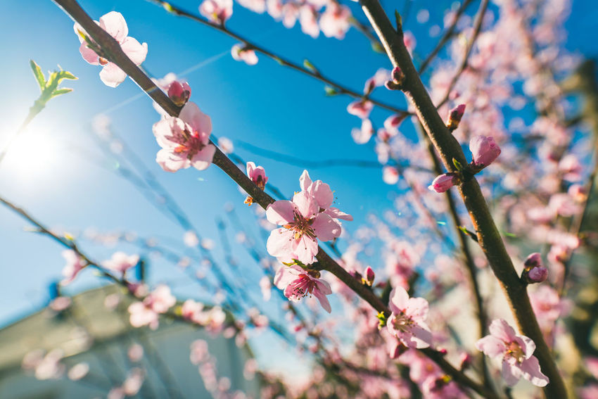 Springtime Beauty In Nature Blossom Close-up Flower Freshness Nature Pink Color Tree Wide Angle