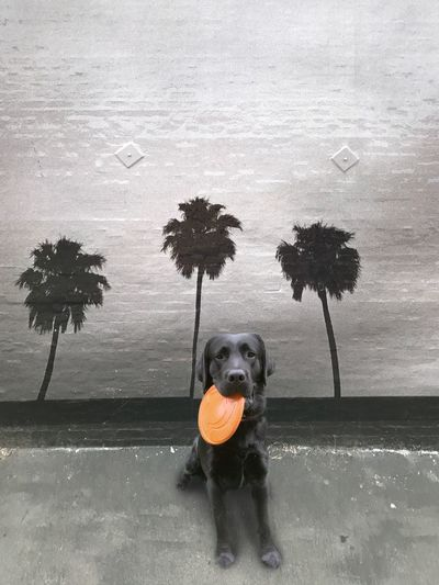 Labrador with frisbee and street art Frisbee Dog Black Labrador Tree Day Sky No People California Dreamin