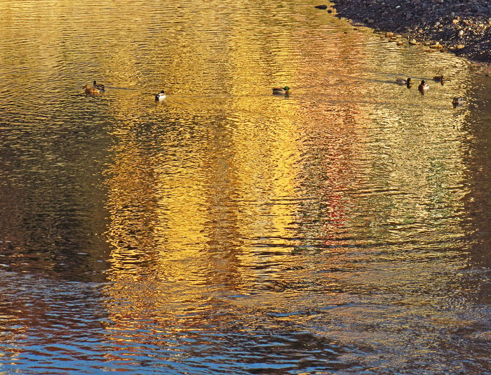 43 Golden Moments Close-up Day Dolceacqua Ducks DUCKS :) Ducks😄 Golden Hour Nature No People Outdoors Reflections Reflections In The Water River Riverside Water