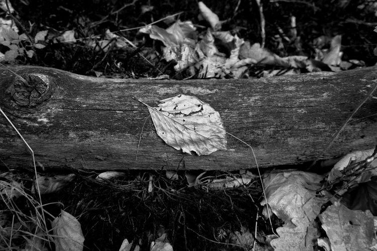 Autumn Dead Tree Dry Tree EyeEm Best Shots EyeEm Nature Lover EyeEm Selects EyeEm Gallery EyeEmNewHere Tree B/w Black And White Bw Contrast Dry Leaf Grey Leaf Leaf Nature Pierie