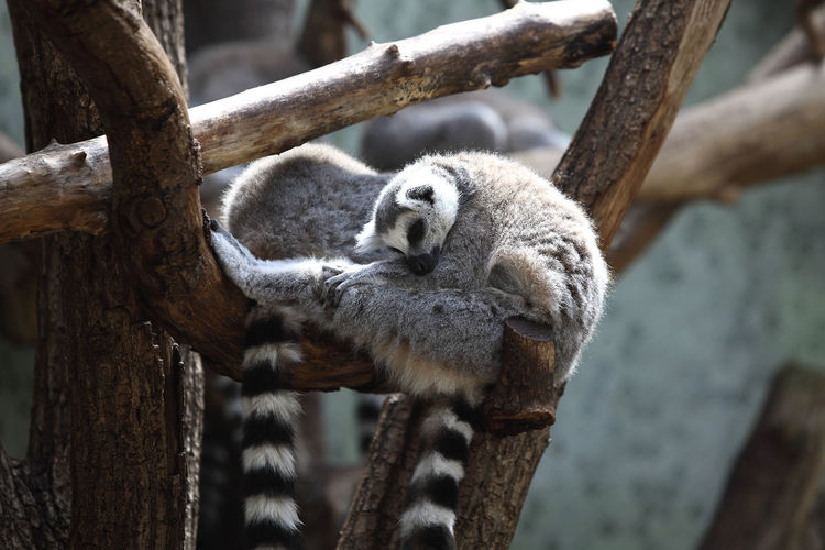 Lemur sleeping on branch