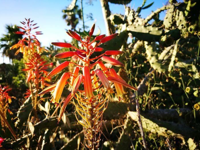 flowers aloe-vera flowers (Huawei p9) Aloe-vera Flower Flower Head Close-up Sky Plant