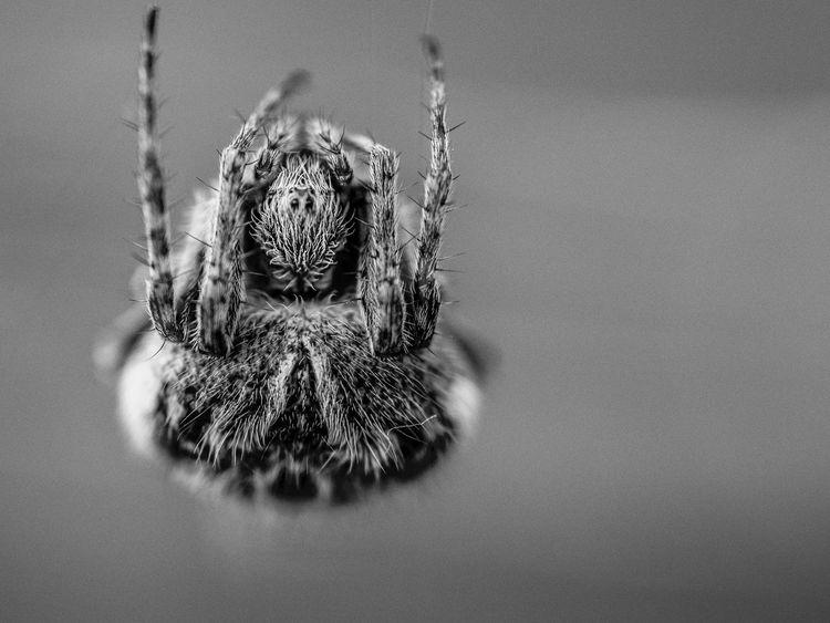 Animal Araignée Blackandwhite France Monochromatic Monochrome Nature Noir Et Blanc Olympus Spider Traveling Wild Zuiko Zuiko 60 Mm