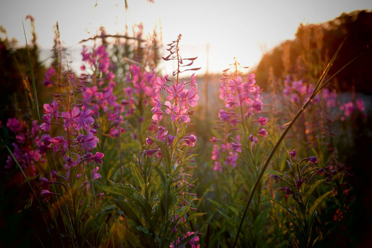 Beauty In Nature Close-up Day Field Flower Flower Head Flowering Plant Focus On Foreground Fragility Freshness Growth Land Loosestrife Nature No People Outdoors Petal Plant Purple Selective Focus Sky Springtime Tranquility Vulnerability