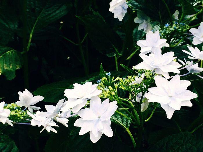 隅田の花火と思われる EyeEm Flower 紫陽花 Nature Plants Nature_collection IPhoneography