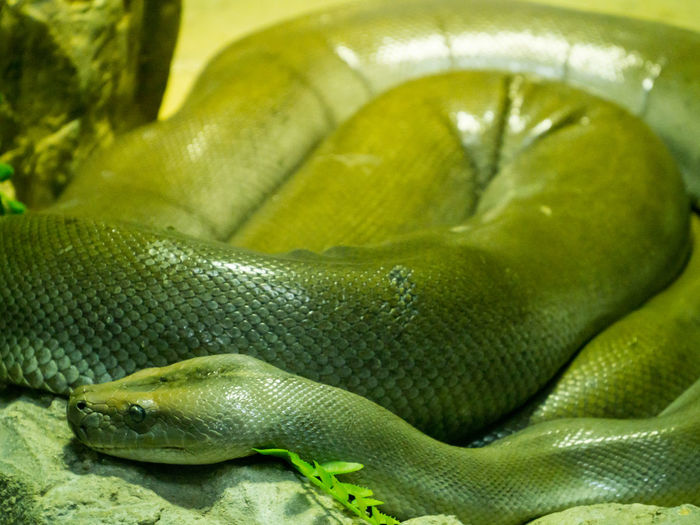 Green Burmese Python Green Burmese Python Animal Themes Animal Wildlife Animals In The Wild Burmese Python Close-up Day Green Color Nature No People Outdoors Python Reptile