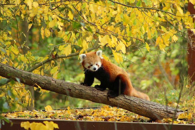 Red Panda EyeEmNewHere Tree Red Panda Leaf Fall Panda Zoo Leaves First Eyeem Photo Autumn Mood