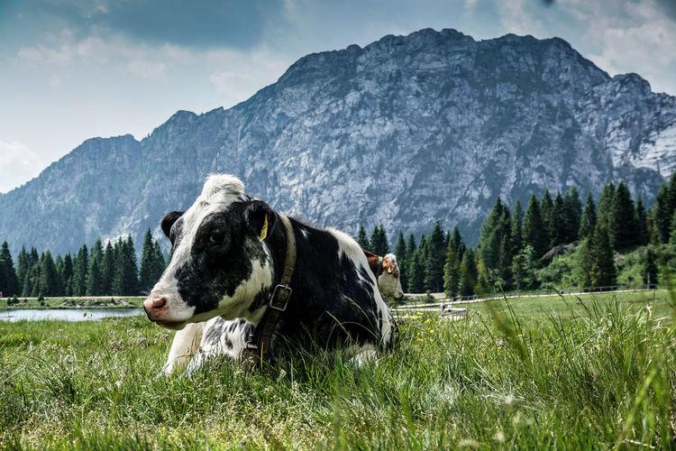 Cow Alps Alpen