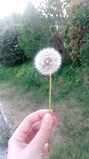 Colours Childhood Memories Wishflowers Making Wishes Springtime May1st Human Hand Flower Flower Head Holding Human Finger Personal Perspective Close-up Plant Dandelion Seed In Bloom Stem Growing Blooming Single Flower