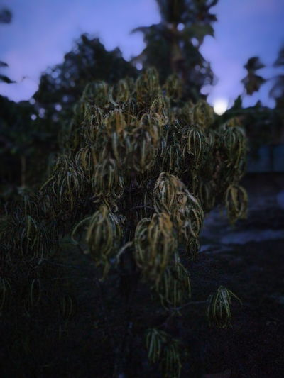 Foliage Leaves🌿 Nature Photography Nature Withered  Withered Plant Plant Yellow Dawn Sky Close-up Needle - Plant Part Plant Life Blooming Growing