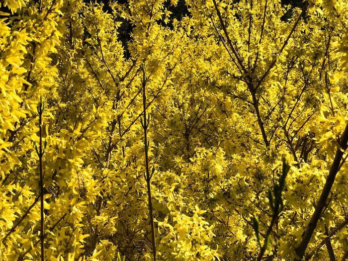 Yellow Full